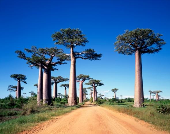 Estos curiosos árboles se llaman adansonia, pero los conocemos como baobabs.