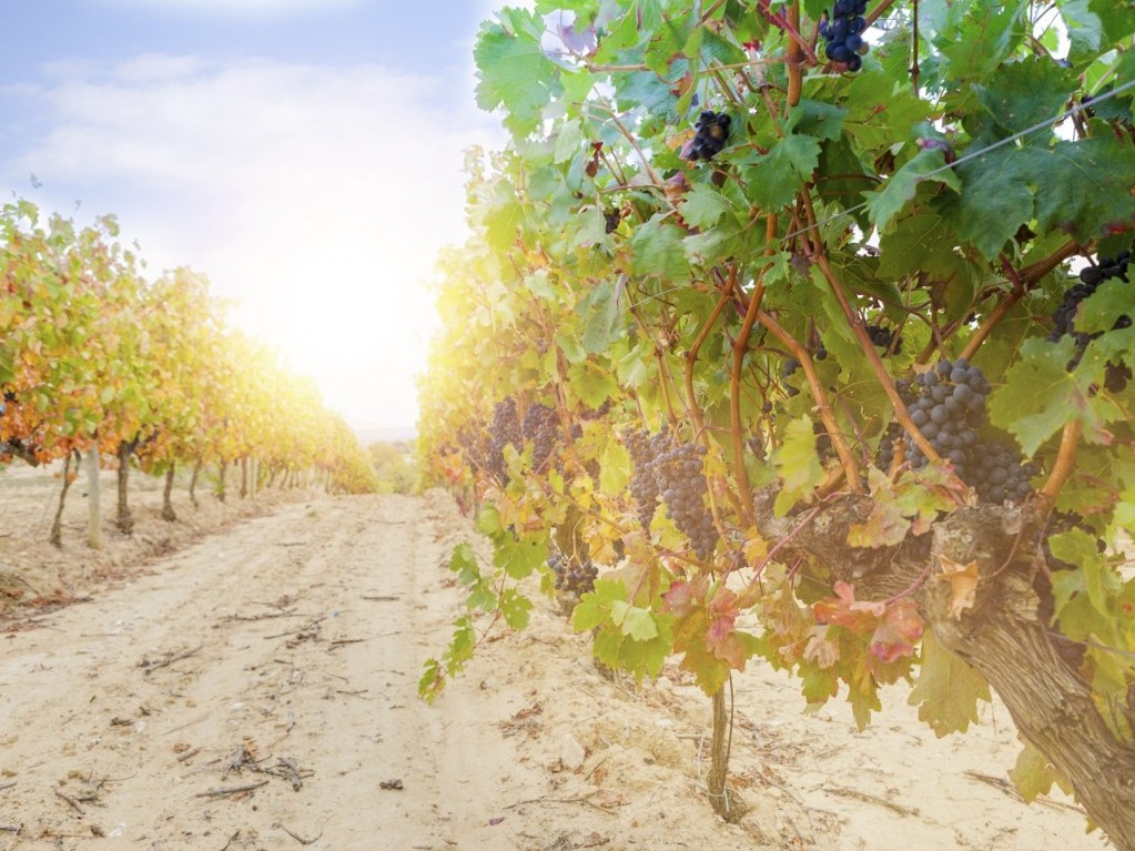 Grapes in a vineyard, La Rioja