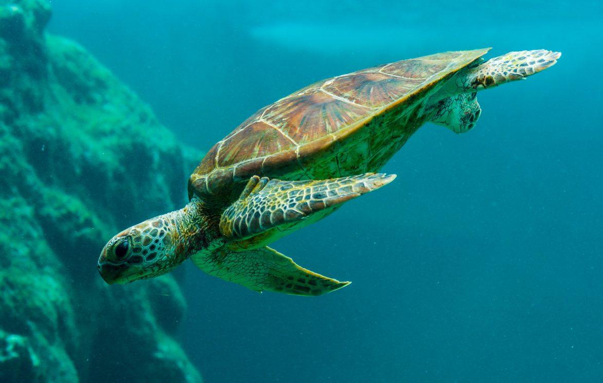 Tortuga marina. Foto de @zmachacek